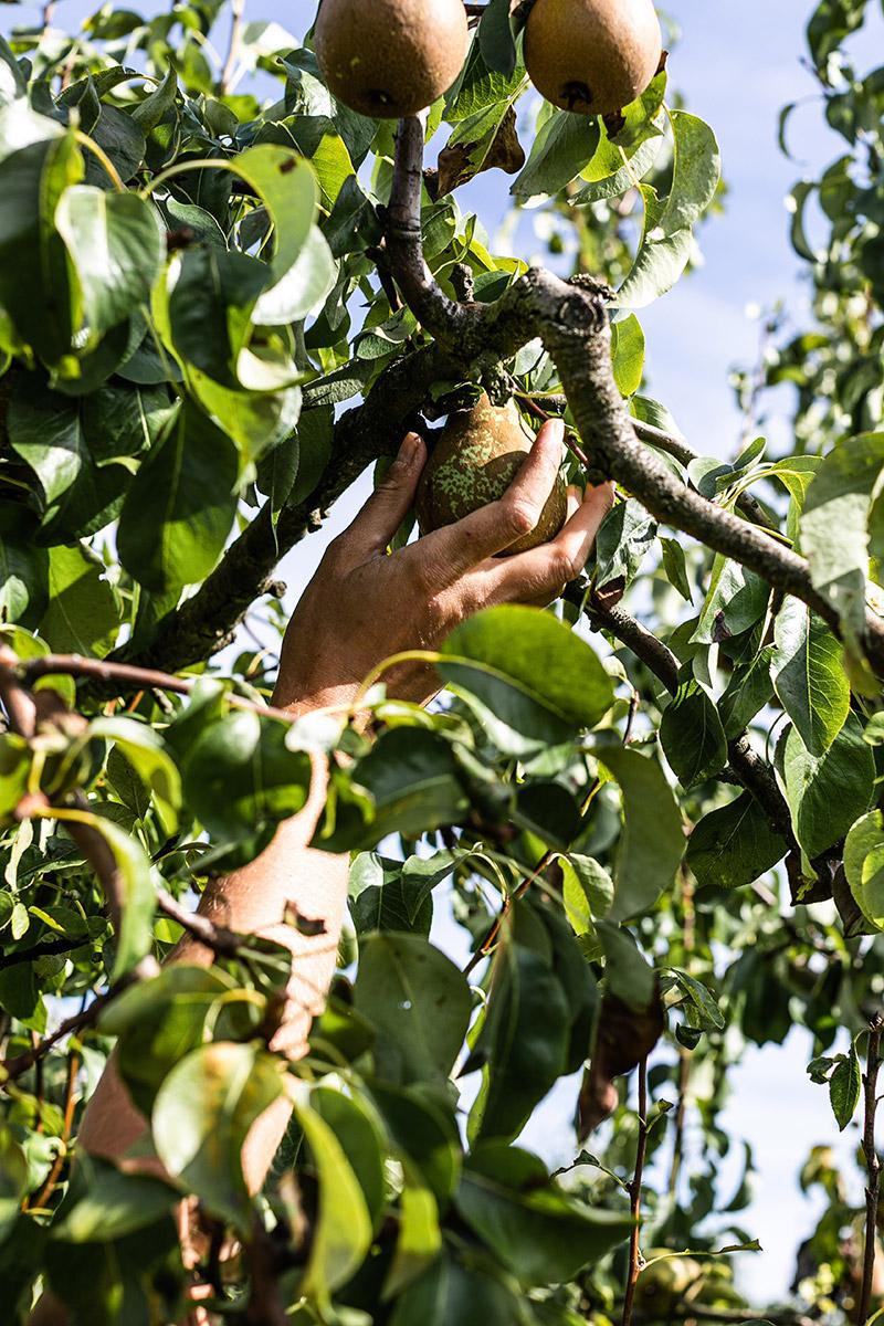 Clos de Rochy Dicy producteur pommes poires bio Yonne jus cidre vinaigre